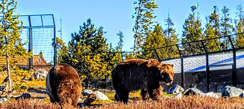 Worth it: Grizzly & Wolf Discovery Center, West Yellowstone,MT