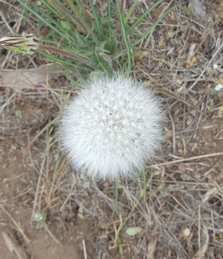 Biggest Dandelion Ever???