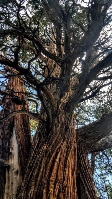 Medussa tree 2