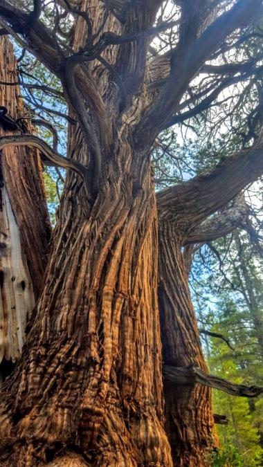 Medussa tree 3