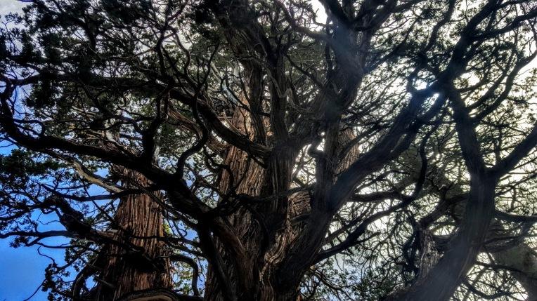 Medussa tree