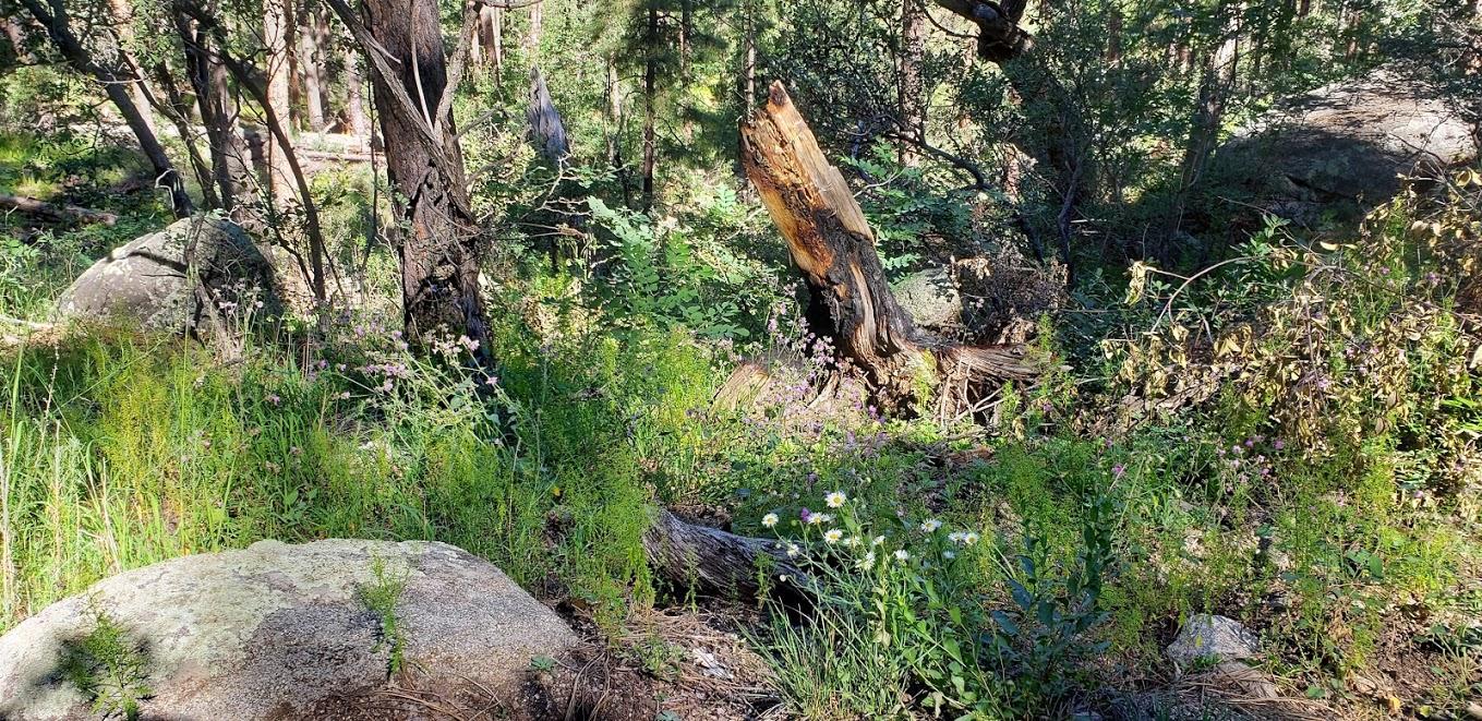 wildflowers spruce mt trail