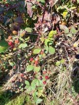 Wild Rasberries.jpg