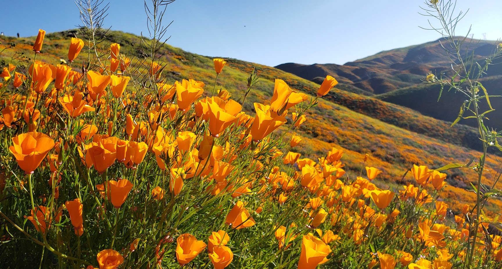 poppies near and far