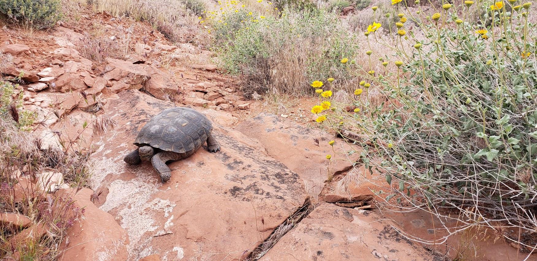 desert tortouise 2